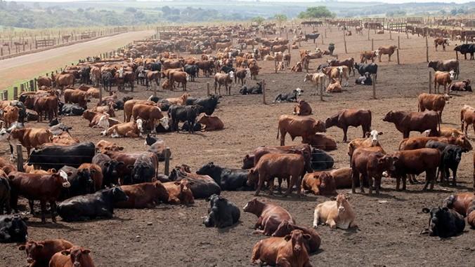 confinamento-boi carne sustentável