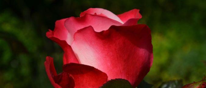 rosa sustentabilidade