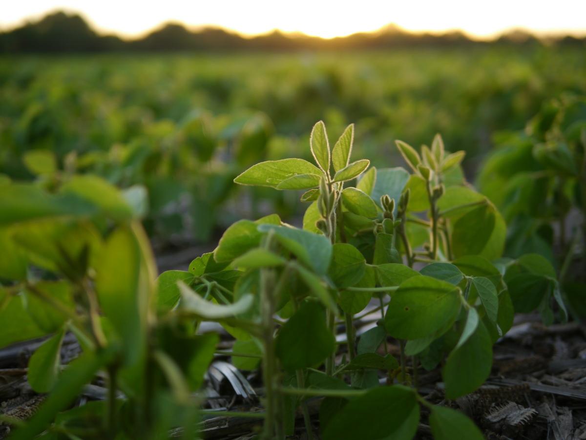 Fixação biológica do nitrogênio é opção sustentável e econômica